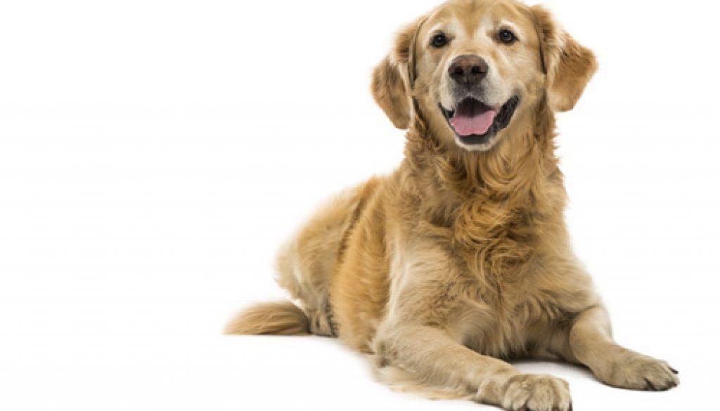 h-animal-dog