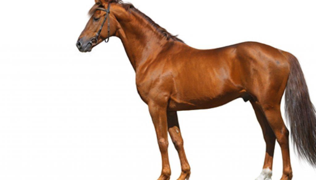 h-animal-horse